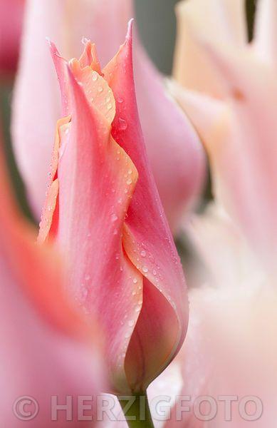 Tulipa 'Perestroyka', Tulpe, Tulpen