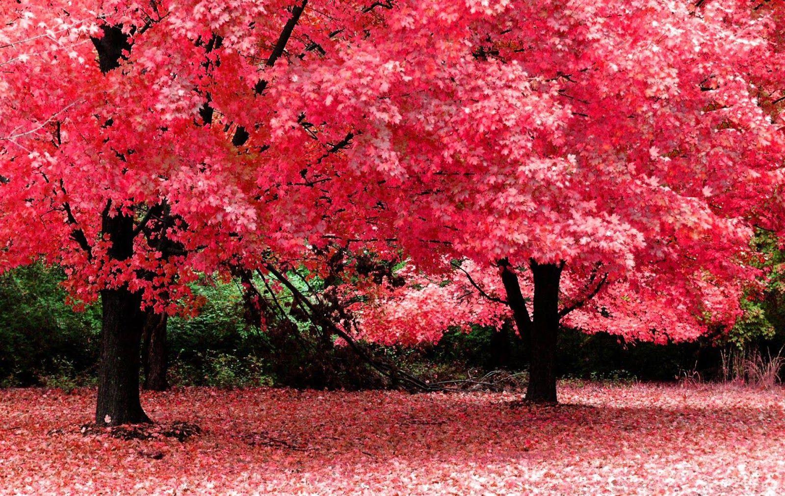 Free Nature Spring Wallpaper Computer Wallpaper Free Wallpaper Downloads Beautiful Tree Pink Trees Nature