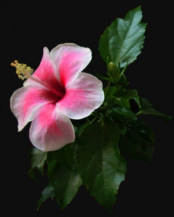 natures-garden: The white and pink hibiscus by ...