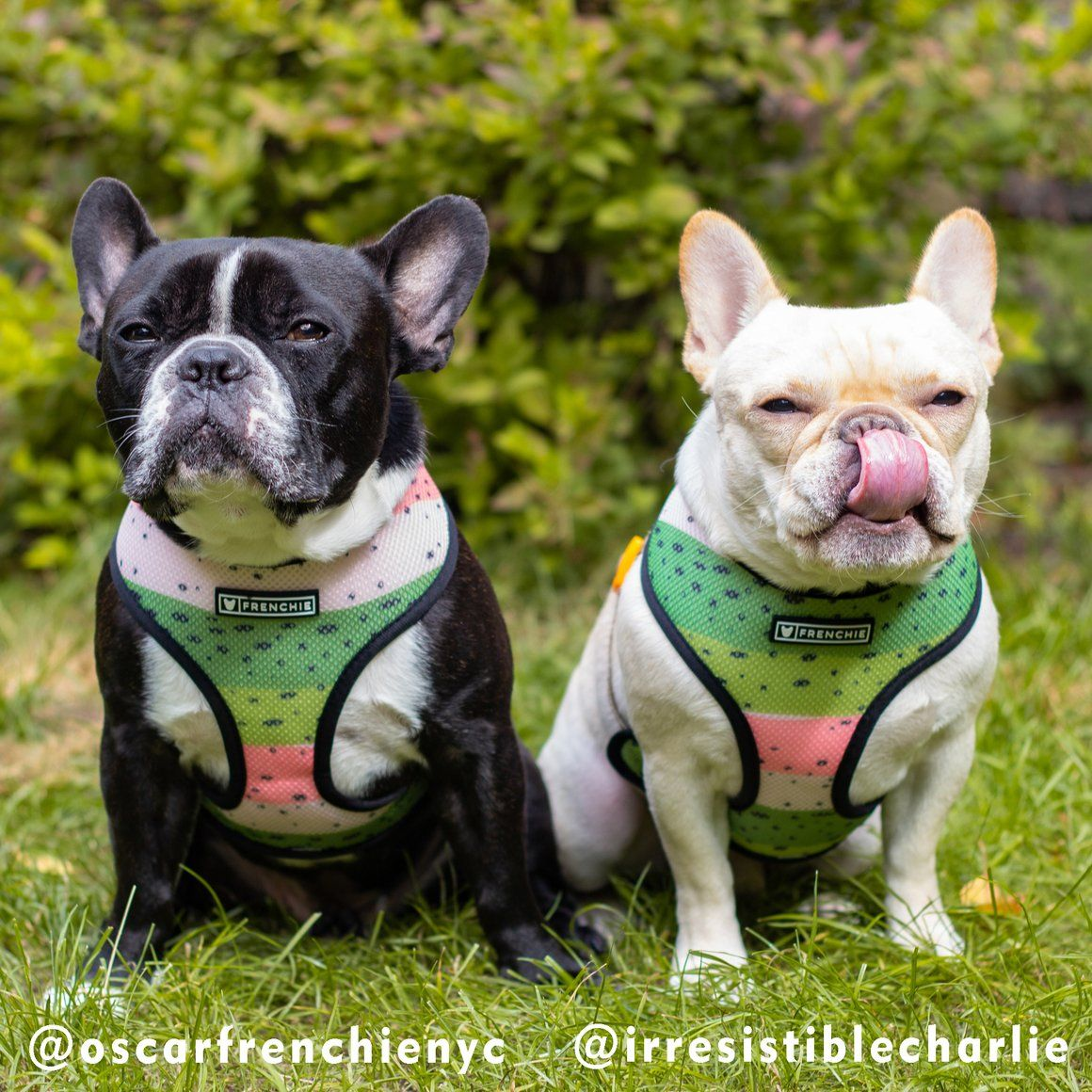 Frenchie Duo Reversible Harness Happy Camper Frenchie Bulldog