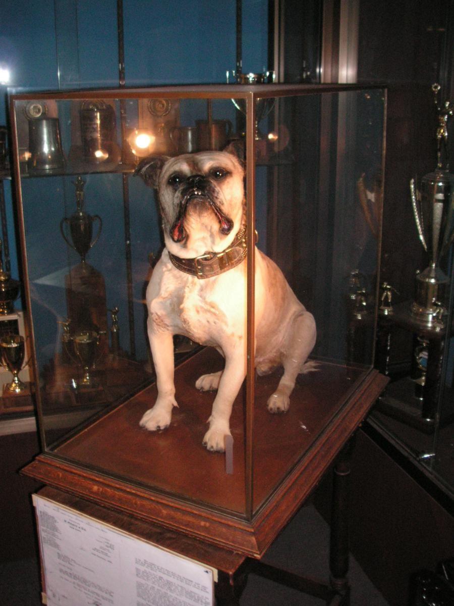 Handsome Dan I English Bulldog Bulldog Mascot
