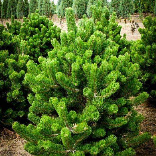 Small Ornamental Trees Oregon: Oregon Green Austrian Pine