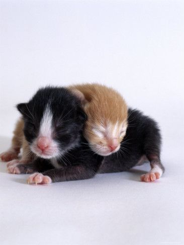 Domestic Cat 1 Day Kittens Black And White And Ginger