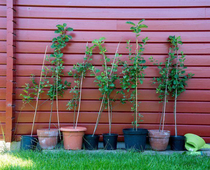 apple tree saplings | Growing tree, Growing apple trees ...