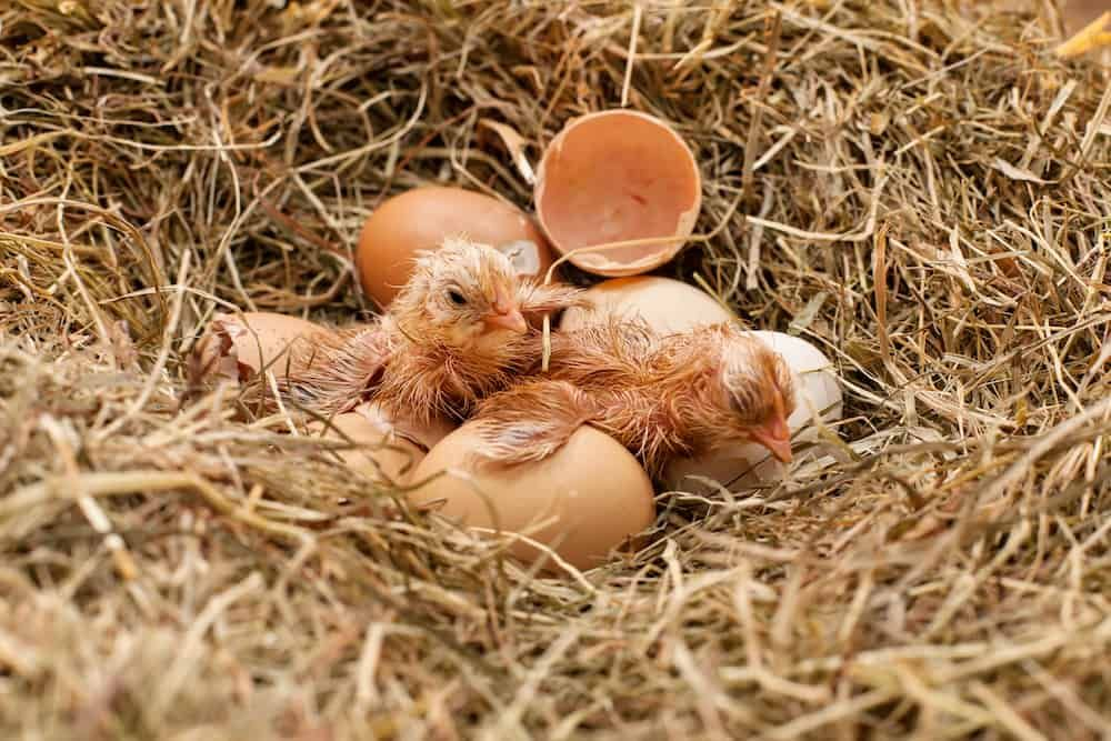 14+ What to feed baby chickens after hatching ideas in 2021