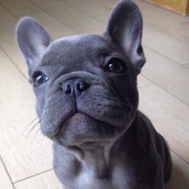 Pin By Cheryl Sennert On Animals Baby Animals French Bulldog Puppies Cute Baby Animals