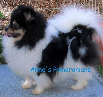 Matisse Is A Beautiful Blacktan Parti Spotted Tri Female