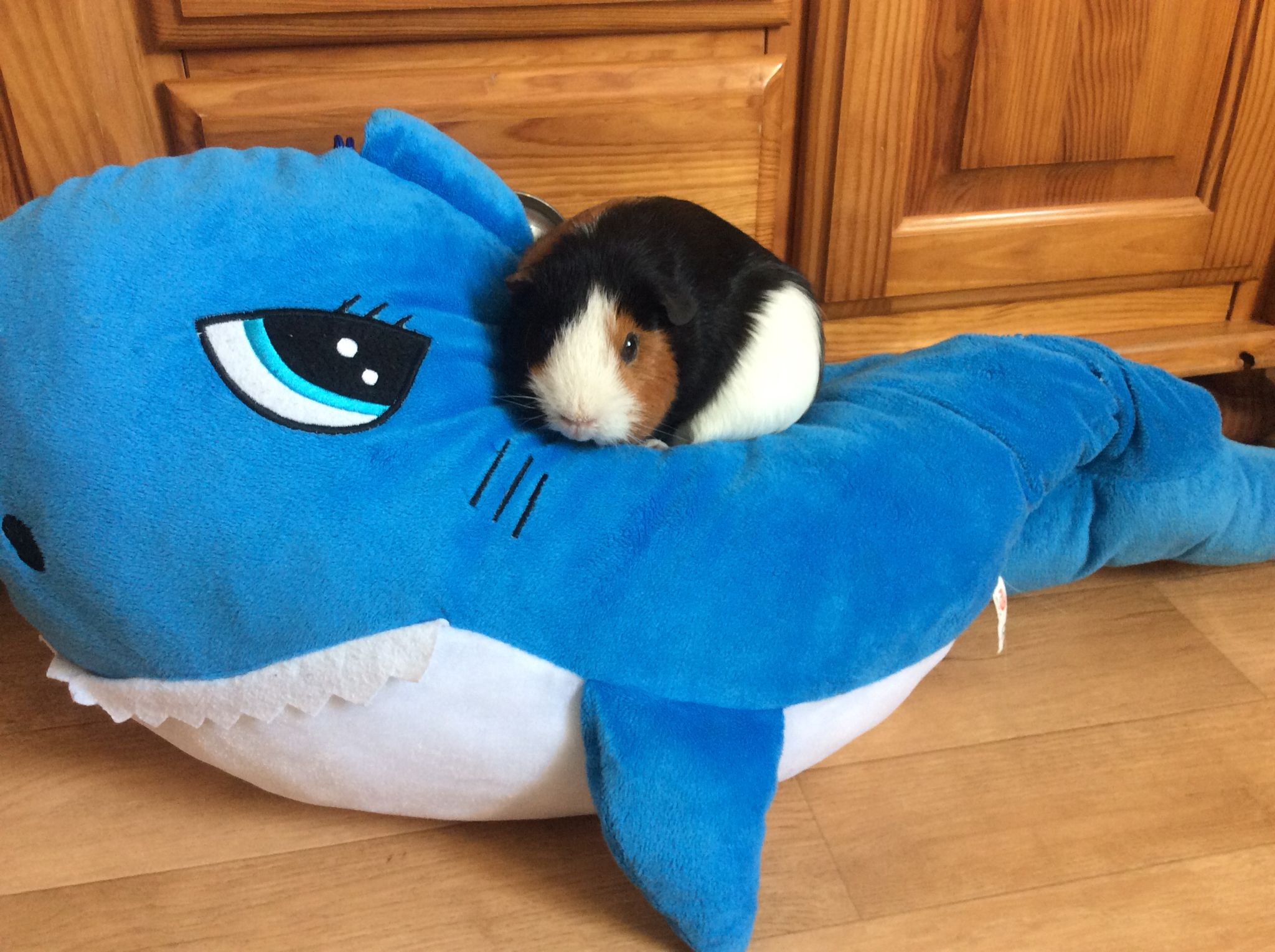My guinea pig on my stuffed shark Caviaus Pinterest Shark