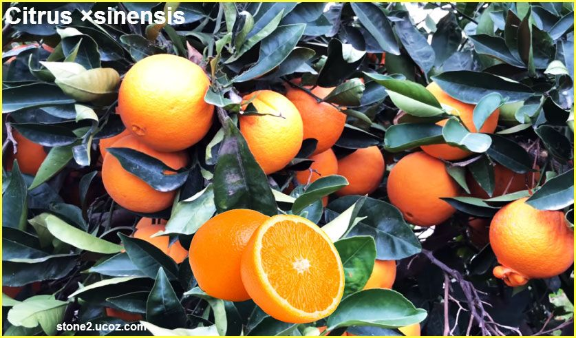البرتقال زراعة ومعلومات Citrus Sinensis قسم الفواكه النبات معلومان عامه معلوماتية Citrus Sinensis Citrus Orange