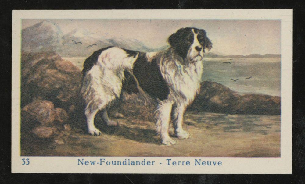 Newfoundland Landseer Dog Dutch 1930 Apos S Dog Trade Card Flora Hondenbrood Ebay Landseer Dog Dogs Newfoundland