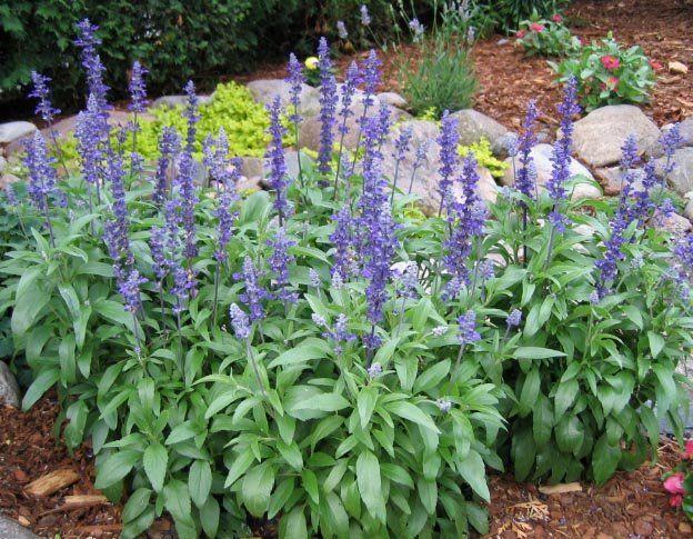 Image 1 Of Salvia Sage Seeds Victoria Blue Salvia Farinacea