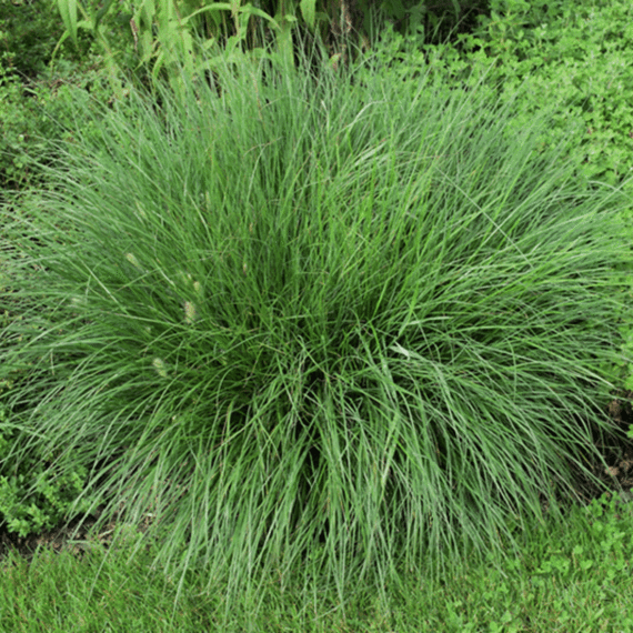 Dwarf Fountain Grass Fountain Grass Grasses Landscaping Ornamental Grasses