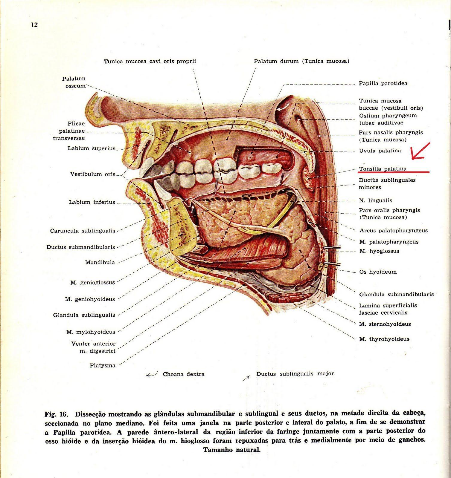 hight resolution of uvula palatina s k p google