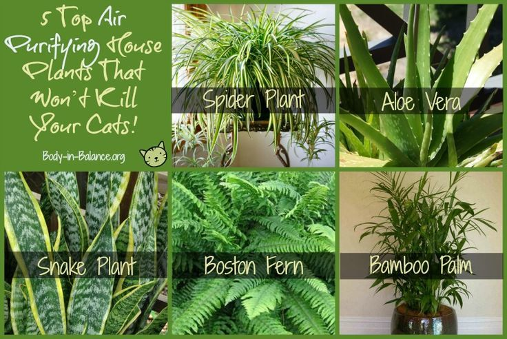 Top 5 Air Purifying House Plants That Won T Kill Your Cats Body In Balance
