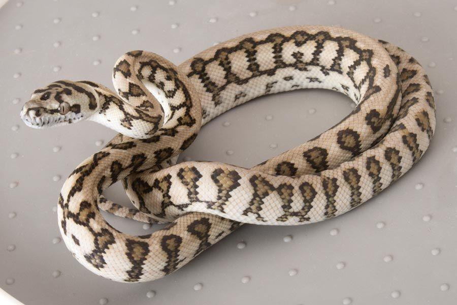 Jaguar Carpet Python Reptile Snakes Snake Lovers Reptiles