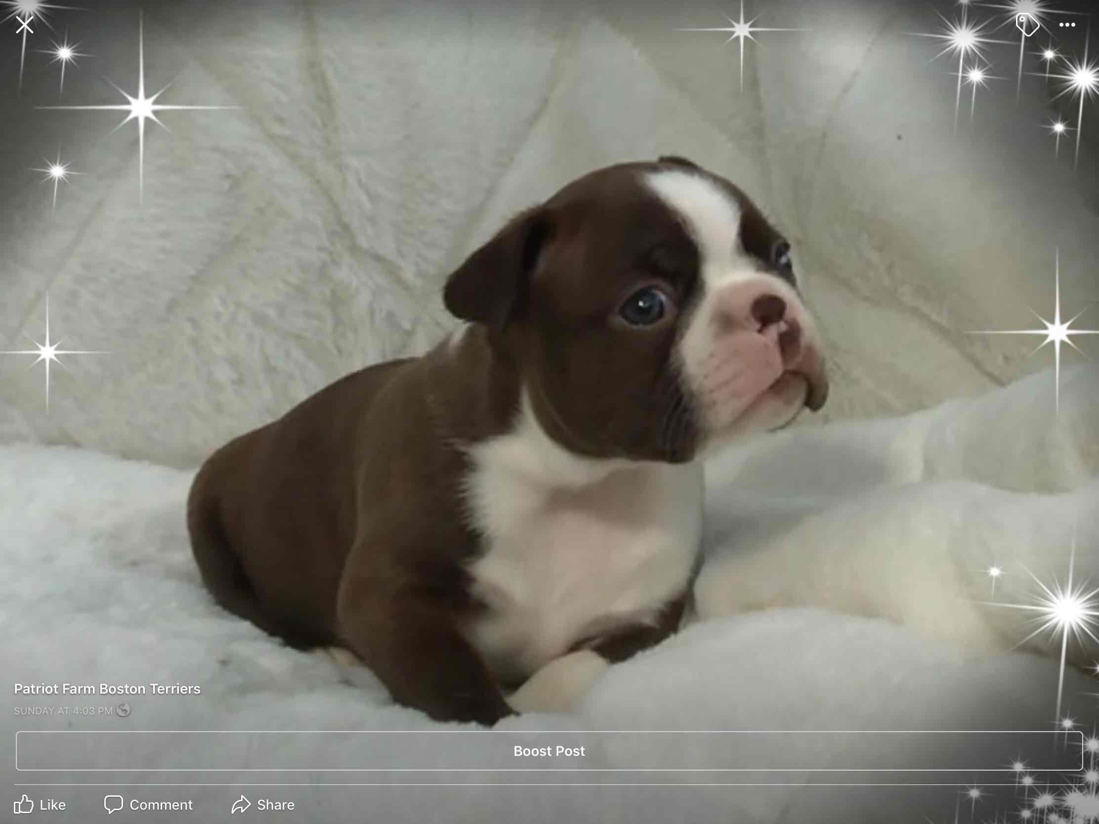 Patriot Farm Boston Terriers Has Boston Terrier Puppies For Sale