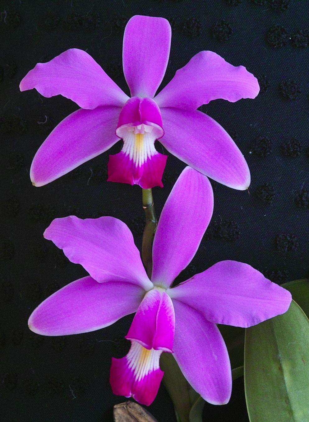 Cattleya Violacea S1 Anggrek Bunga Kertas Dan Ungu