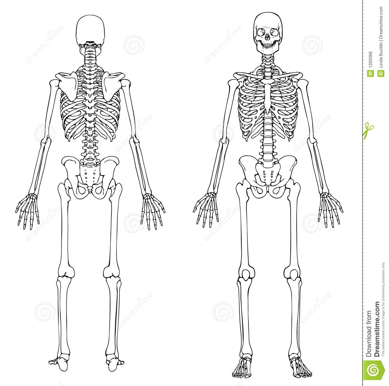 Human Skeleton Front And Back Royalty Free Stock Image Image