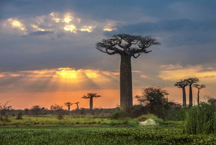 Madagaskar Urlaub - Besichtigung der Baobab Bäume
