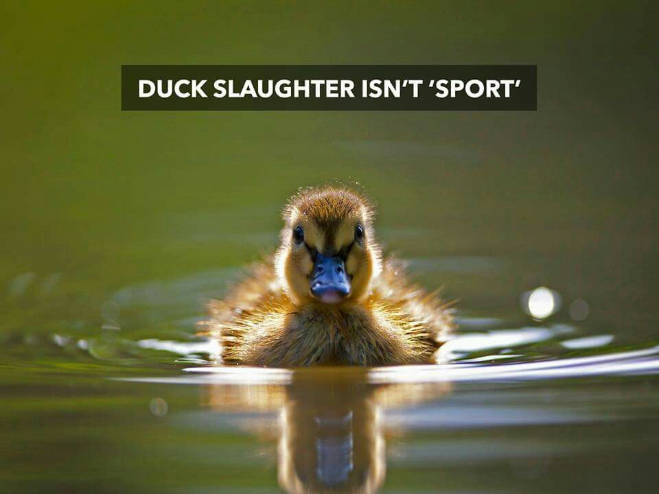 Pin by pjuergy on Compassion Ducklings, Duck and