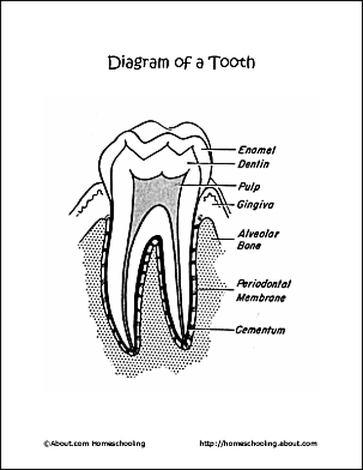 10 worksheets that will teach children the basics of dental health Head and Neck Anatomy Diagram 10 worksheets that will teach children the basics of dental health diagram of a tooth coloring page