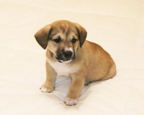Adopt Littlelove Corrine On Basset Hound Dog Corgi Shepherd