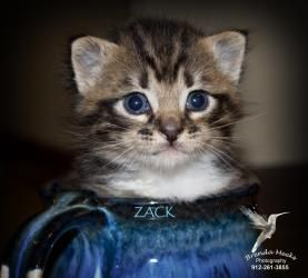 Zack is an adoptable Domestic Medium Hair - Gray And White Cat in Jacksonville, FL. Zack the cat is one of four kittens that are the product of a pet owner not spaying and neutering. Zach appears to h...