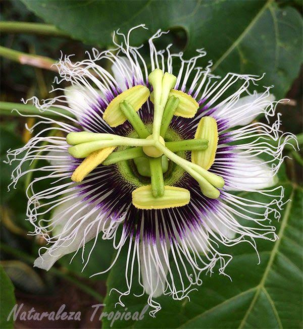 Flor de la maracuy passiflora edulis proyectos que for Modelo de proyecto de plantas ornamentales