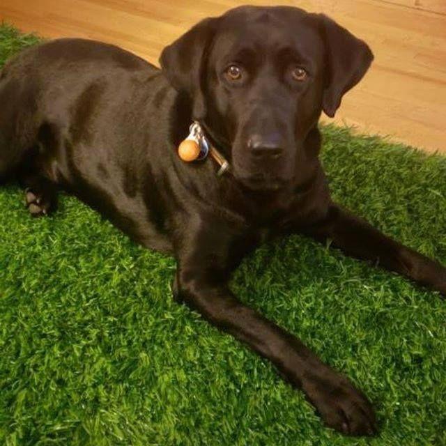 Lost Dog Blaine Labrador Retriever Labrador Retriever Mix Male Date Lost 12 21 2018 Dog S Name Gunner Breed Of Dog Labrador Re Losing A Dog Dogs Dog Ages