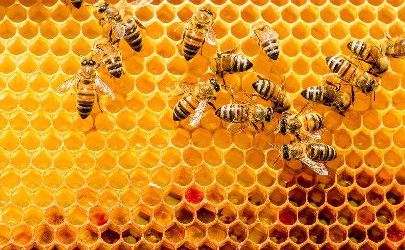 طريقة استخدام غذاء ملكات النحل لتكبير الارداف Bee Keeping Bee Pollen Bee Population