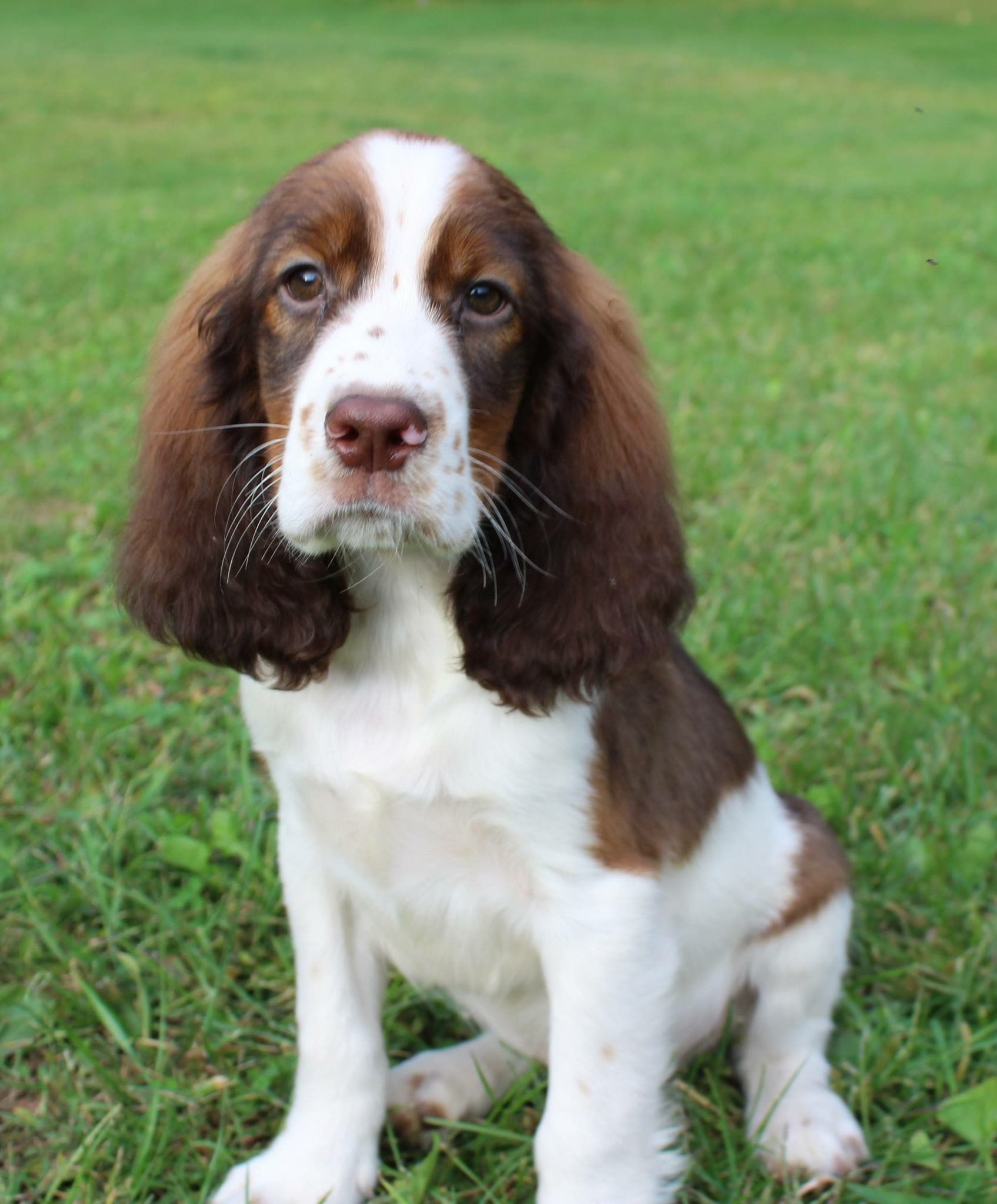 Pin By Susiemac On Springers Spaniel Puppies Springer Spaniel