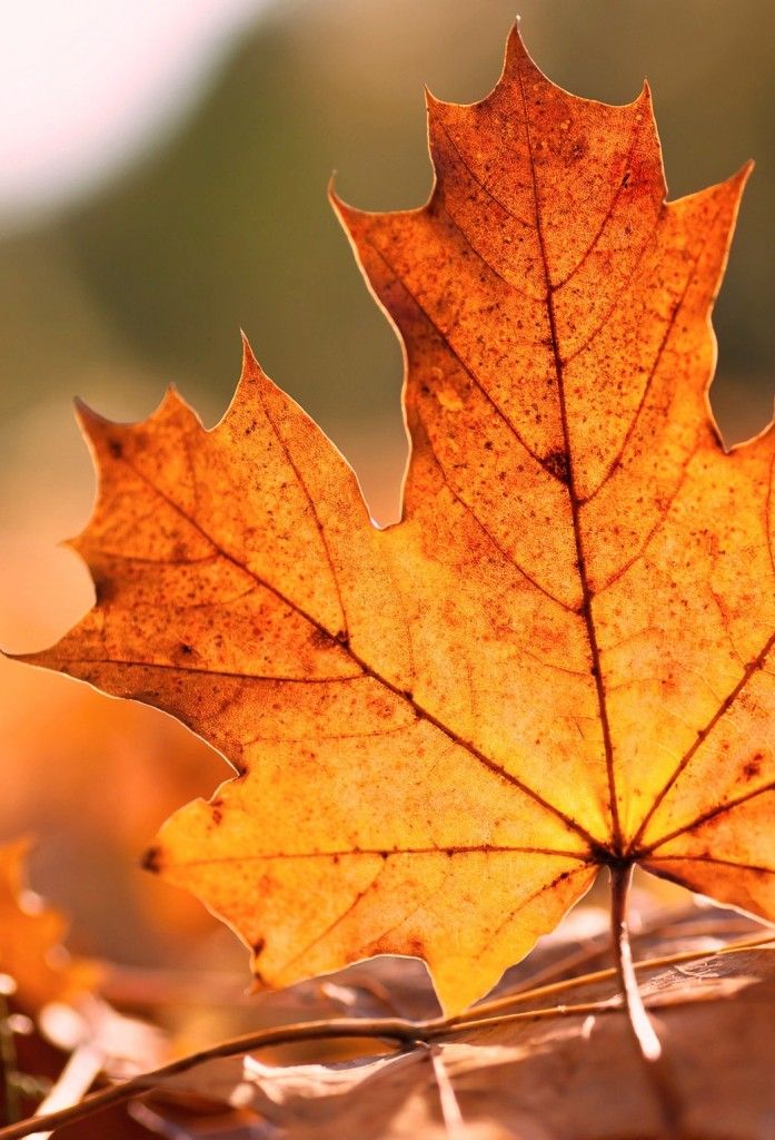 Falling Leaves Wallpaper Blackberry Parallax Ios 7 Wallpapers Leaf Apple Pinterest