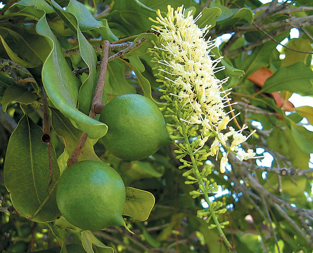 Macadamia Nut Blossoms With Fruits Pacifichorticulture Org Macadamia Tree Seeds Australian Plants