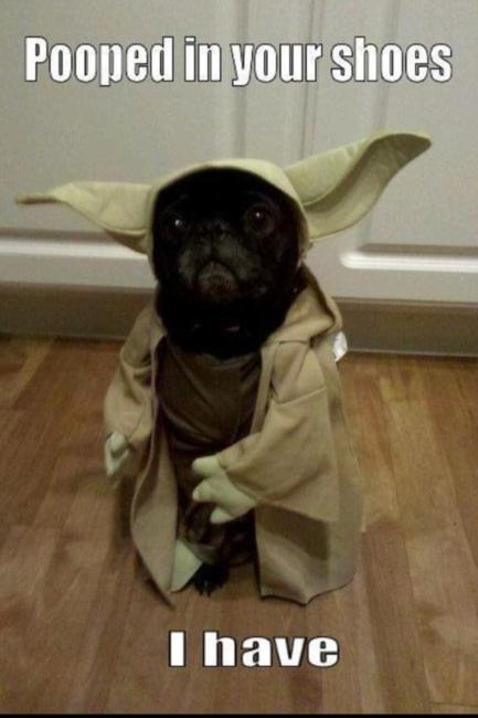 May The Bark Be With You Star Wars Yoda Cute Dog Funny Dogbarkingstop Funny Animal Memes Funny Animal Jokes Pugs Funny