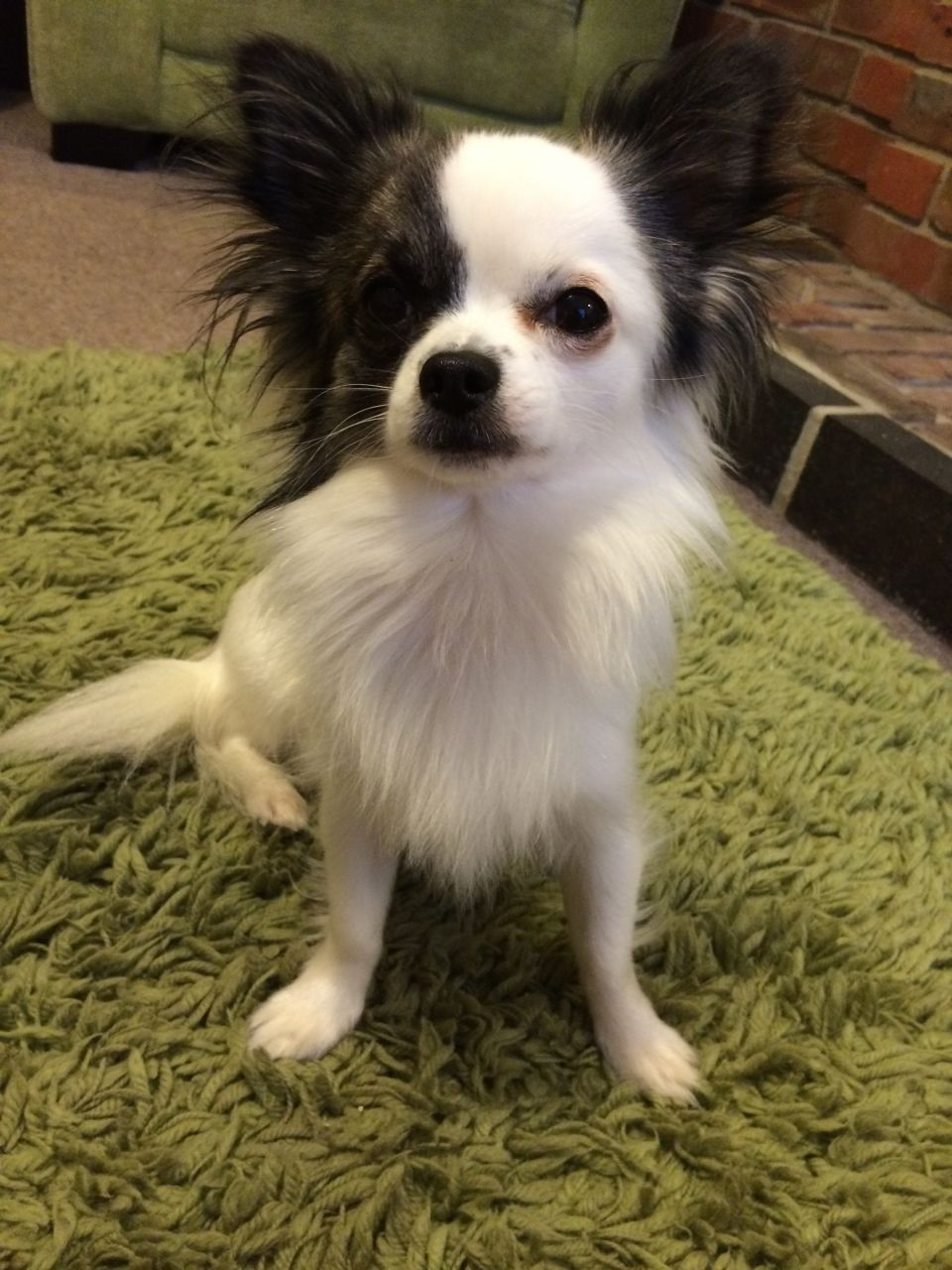 Black And White Long Haired Chihuahua For Stud White Chihuahua