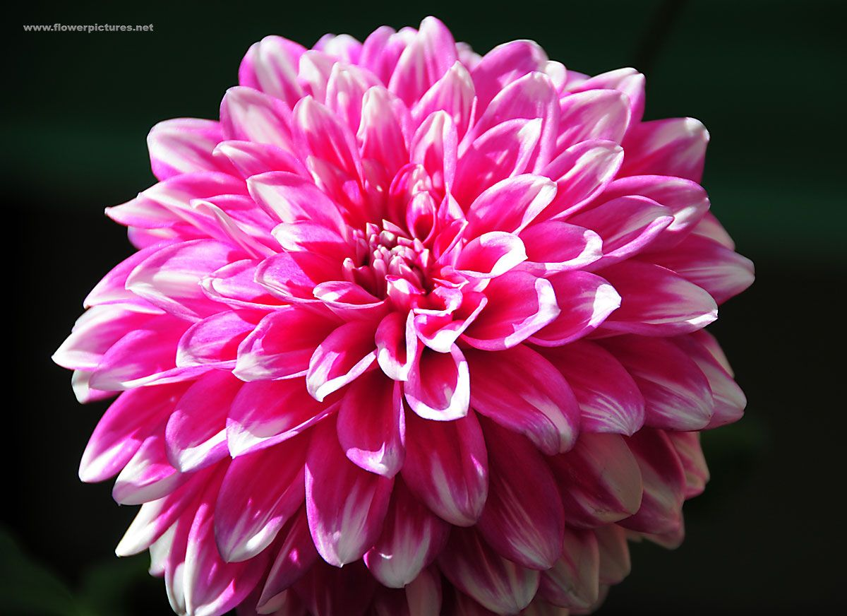 Large Pink Flowers Dahlia Flower Picture Flower Pictures 3790