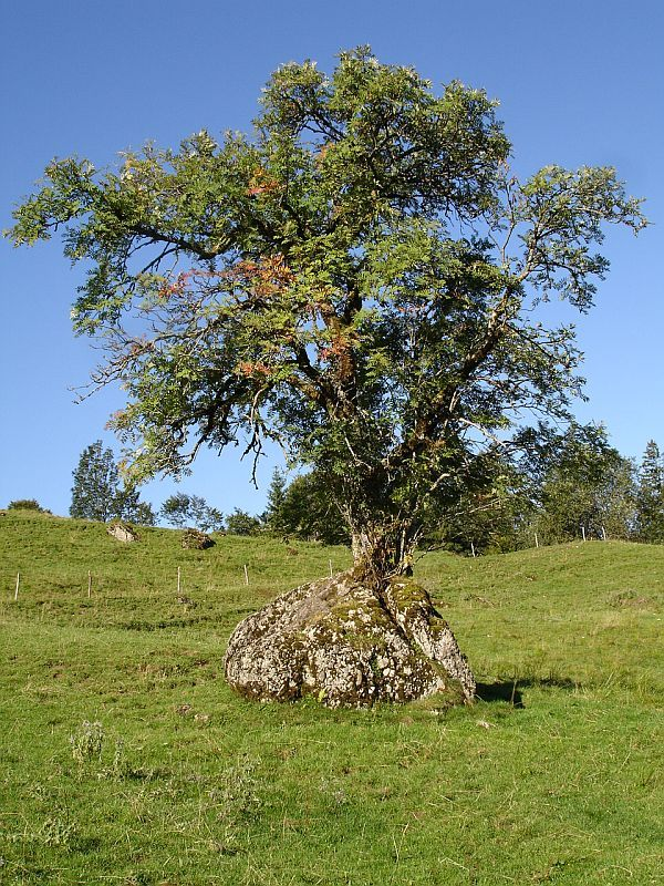 Erstaunlich wie Bäume auch auf Felsen einen Lebensraum finden