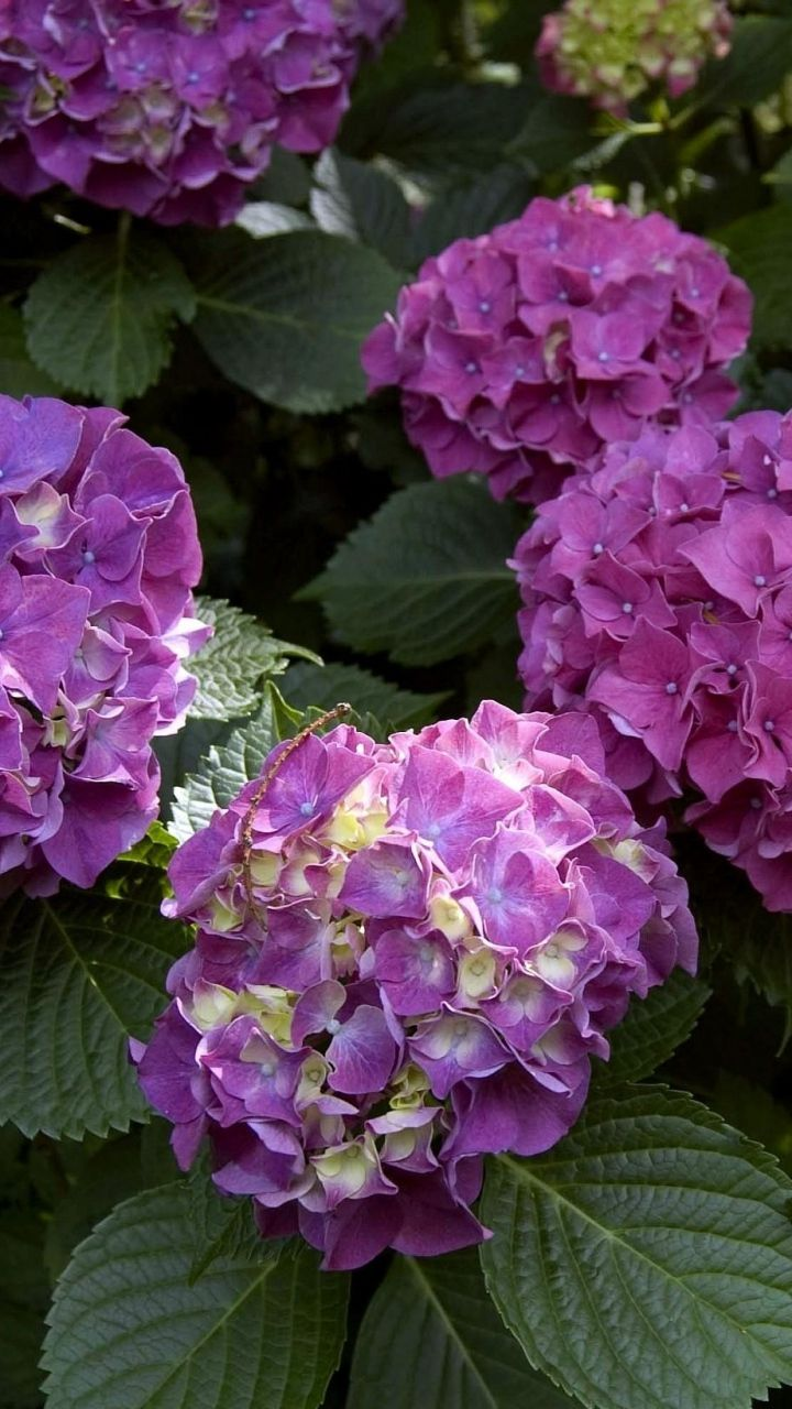 Download Wallpaper 720x1280 Hydrangea Leaf Blossom Bright
