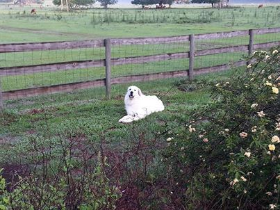 Great Pyrenees Named Thunder From Twin Oaks Kennels Gainesville