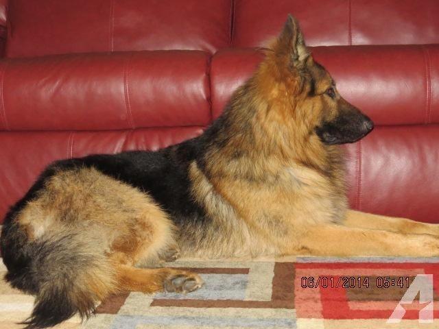 Beautiful Akc Black Red Long Hair German Shepherd Puppies For