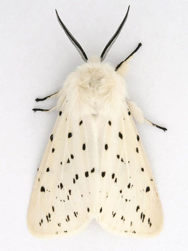 Description And Photographs Of The Moth White Ermine Spilosoma