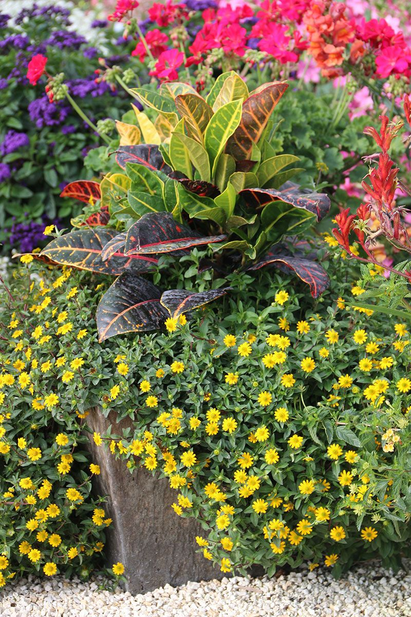 Garden Bush: Combo Plants 1 Croton 4 Yellow Sanvitalia