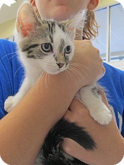 Adopt a Pet :: Photo 1: Ace - Riverhead, NY -  Domestic ShorthairMix