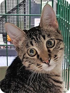 Pictures of Quarter a Domestic Shorthair for adoption in Dallas, TX who needs a…
