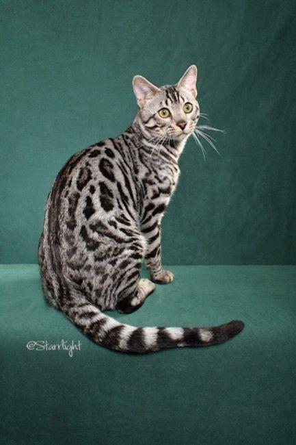 Lunakatz Bengals Bengal Cats Bengals Illustrated Directory Bengal Cat For Sale Bengal Cat Silver Bengal Cat