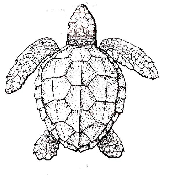 sea turtle anatomy coloring page