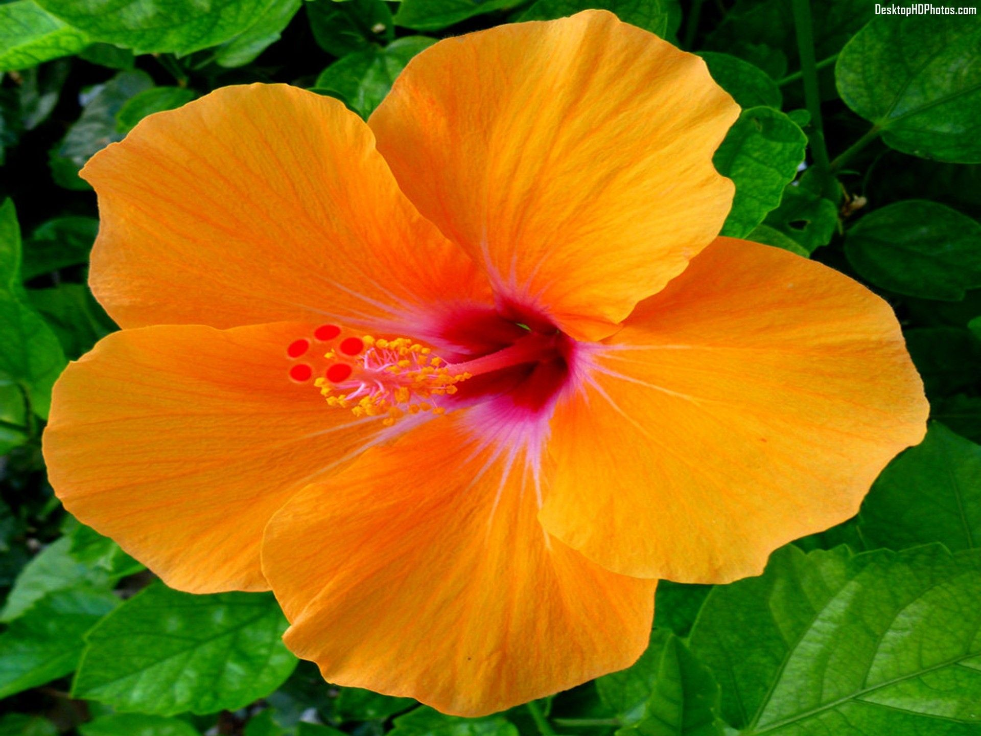 Hawaiian Hibiscus Orange Flower Desktop Hd Photos Hibiscus