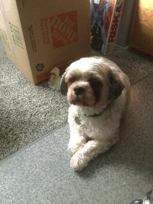 Shih Tzu Pair Is An Adoptable Shih Tzu Searching For A Forever