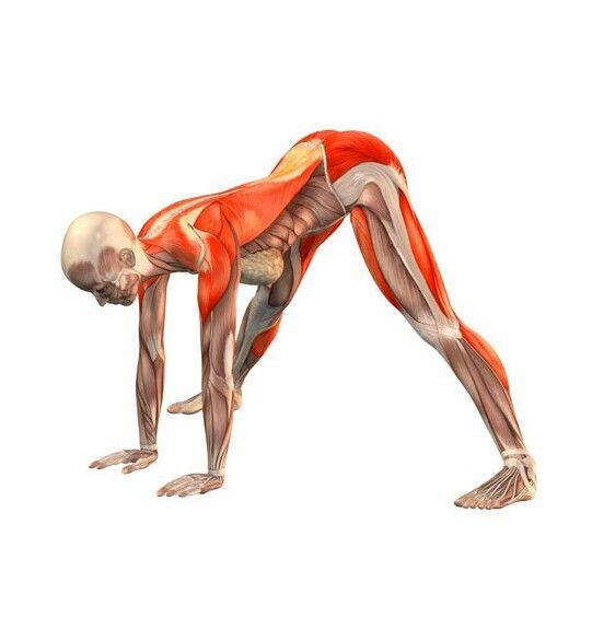 Prasarita paddotanasana | yoga | Pinterest | Yoga, Anatomía y ...