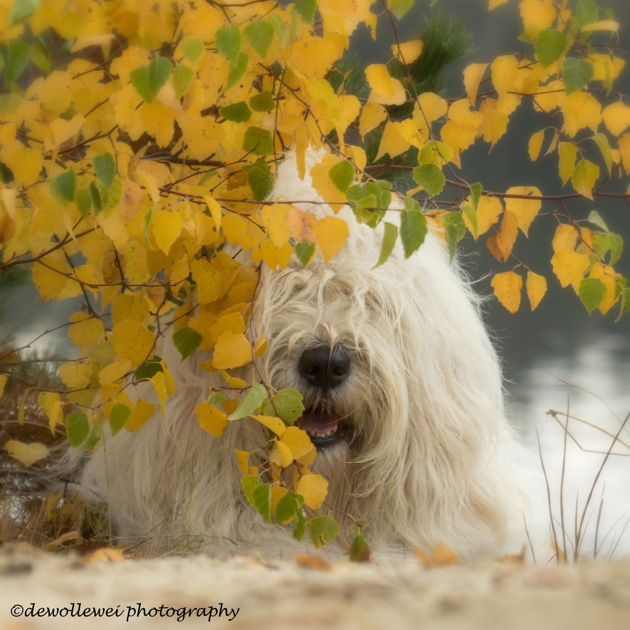 autumn days - old English sheepdog Sophie